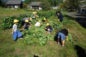収穫した黒枝豆の葉取り作業